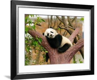 Sleeping Giant Panda Baby-SJ Travel Photo and Video-Framed Photographic Print