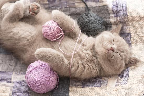 Sleeping Kitten Rare Color (Lilac)-Liliya Kulianionak-Photographic Print
