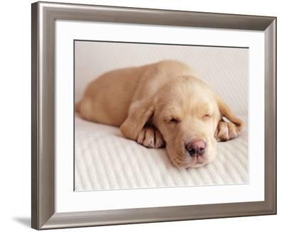 Sleeping Labrador Puppy-Jim Craigmyle-Framed Photographic Print