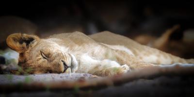 https://imgc.artprintimages.com/img/print/sleeping-lion-cub-chobe-national-park-botswana-africa_u-l-q1boka50.jpg?p=0