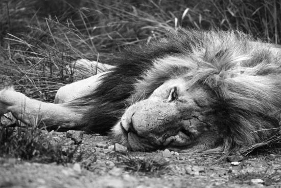 Sleeping Lion--Photographic Print