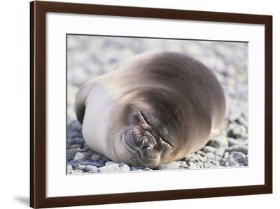 Sleeping Southern Elephant Seal-DLILLC-Framed Photographic Print