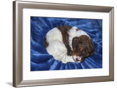 Sleeping Standard Poodles Puppies-Zandria Muench Beraldo-Framed Photographic Print