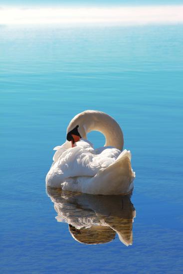 Sleeping Swan in Blue Water-SusaZoom-Photographic Print