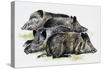Sleeping Wild Boars or Wild Pigs (Sus Scrofa), Suidae, Drawing