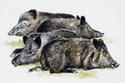 Sleeping Wild Boars or Wild Pigs (Sus Scrofa), Suidae, Drawing--Giclee Print