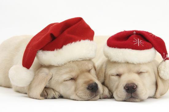 Christmas Puppies.Sleeping Yellow Labrador Retriever Puppies 8 Weeks Wearing Father Christmas Hats Photographic Print By Mark Taylor Art Com