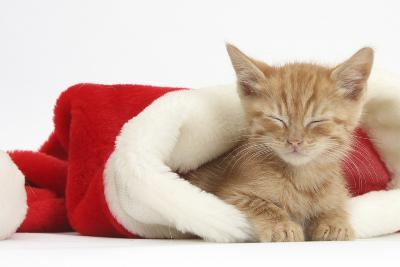 Sleepy Ginger Kitten, 5 Weeks, in a Father Christmas Hat-Mark Taylor-Photographic Print