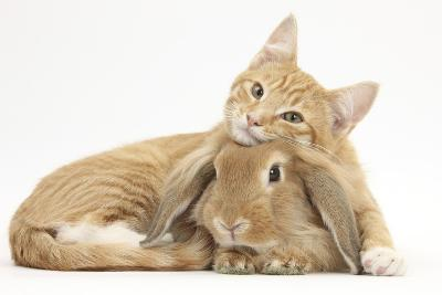 Sleepy Ginger Kitten with Sandy Lionhead-Lop Rabbit-Mark Taylor-Photographic Print