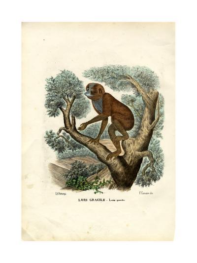Slender Lori, 1863-79-Raimundo Petraroja-Giclee Print