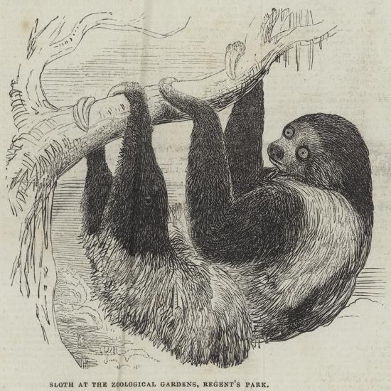 Sloth at the Zoological Gardens, Regent's Park--Giclee Print