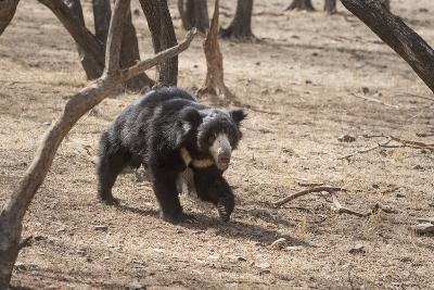 Sloth Bear, Ranthambhore National Park, Rajasthan, India, Asia-Janette Hill-Photographic Print