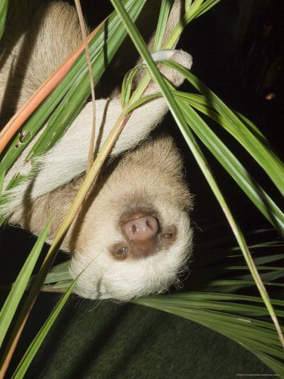 Sloth, Manuel Antonio, Costa Rica, Central America-R H Productions-Photographic Print