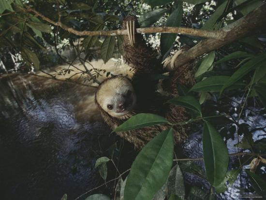Sloth-Mattias Klum-Photographic Print