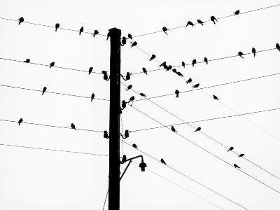 Small Birds Sitting on Power Lines--Photographic Print