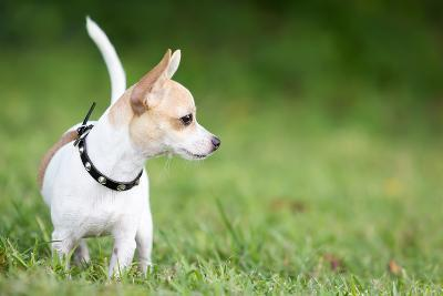 Small Chihuahua Dog Standing on a Green Grass Park with a Shallow Depth of Field-Kamira-Photographic Print
