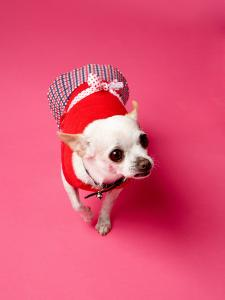 Small Chihuahua Dressed Up in Clothes