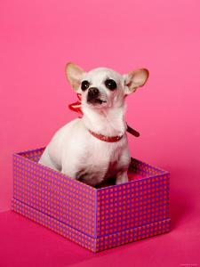 Small Chihuahua Sitting in Gift Box