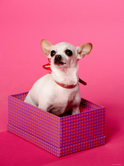 Small Chihuahua Sitting in Gift Box--Photographic Print
