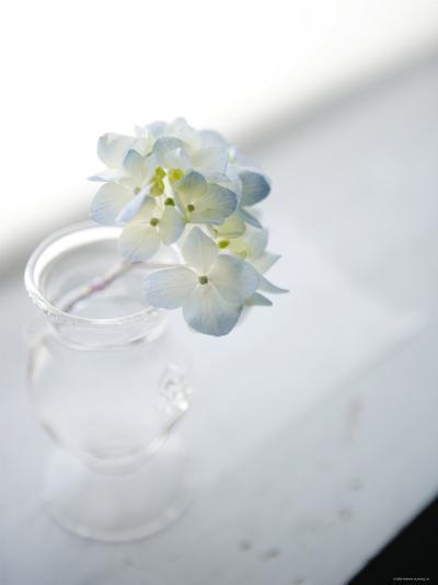 Small Cluster of White Hydrangea--Photo