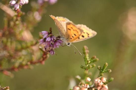 Small Copper Butterfly, Lycaena Phlaeas, Heath Blossom, Side View, Sitting-David & Micha Sheldon-Photographic Print