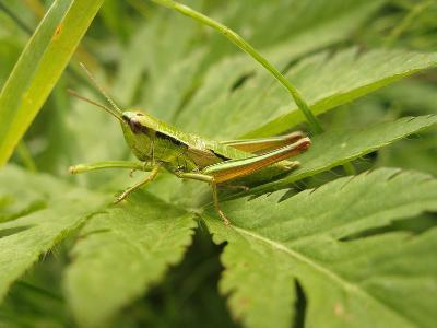 Small Gold Grasshopper on Leaf-Harald Kroiss-Photographic Print