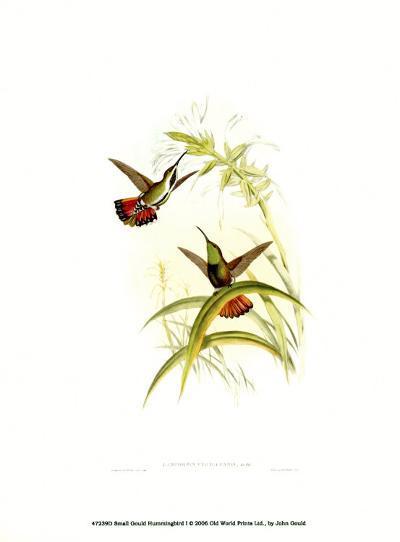Small Gould Hummingbird I-John Gould-Art Print