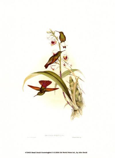 Small Gould Hummingbird II-John Gould-Art Print
