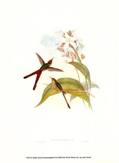 Small Gould Hummingbird III-John Gould-Art Print