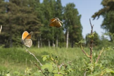 Small Heath (Coenonympha Pamphilus) Two Males Fighting In Habitat, Aland Islands, Finland, June-Jussi Murtosaari-Photographic Print