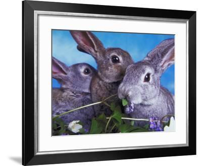 Small Herd of Rabbits Chewing on Leaves and Various Foliage--Framed Photographic Print