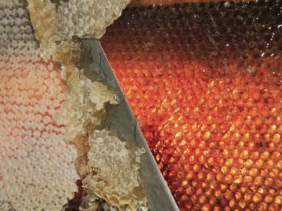 Small Honey Producers Still Use the Uncapping Knife to Prepare the Bee Hive Frames-Eric Tourneret-Photographic Print