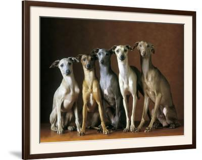Small Italian Greyhounds Five Sitting Down Together--Framed Photographic Print