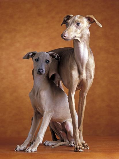 Small Italian Greyhounds Two Together--Photographic Print