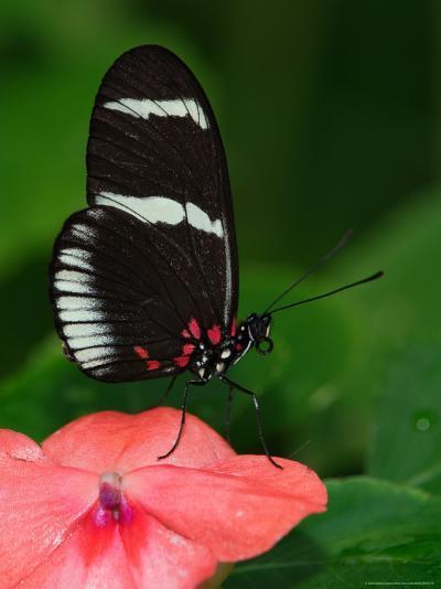 Small Postman Butterfly-Adam Jones-Photographic Print