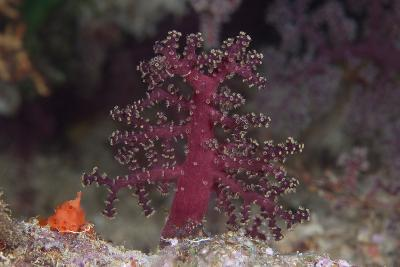 Small Soft Coral, Beqa Lagoon, Fiji-Stocktrek Images-Photographic Print