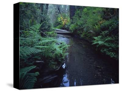 Small Stream Flowing Through Redwoods National and State Parks, California