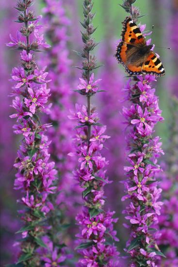 Small Tortoiseshell Butterfly Resting on Purple--Photographic Print