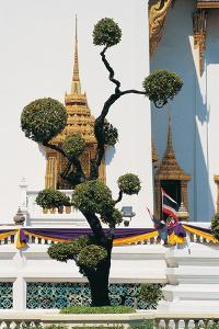 Small Tree at Buddha Temple