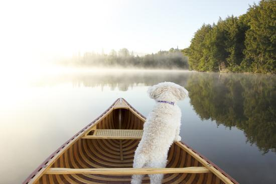 Small White Cockapoo Dog Navigating from the Bow of a Canoe on a Misty Lake - Ontario, Canada-Brian Lasenby-Photographic Print