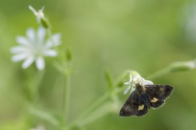 Small Yellow Underwing Moth (Panemeria Tenebrata) On Stitchwort (Stellaria) South Karelia-Jussi Murtosaari-Photographic Print