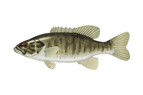 Smallmouth Bass (Micropterus Dolomieui), Fishes-Encyclopaedia Britannica-Art Print