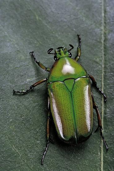 Smaragdesthes Africana (Flower Beetle)-Paul Starosta-Photographic Print