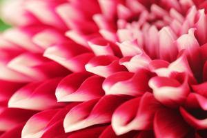Abstract Photo of Pink Dahlia Flower by smarnad