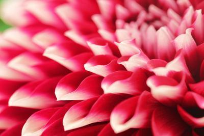 Abstract Photo of Pink Dahlia Flower