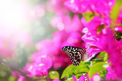 Majestic Morning Scene With Butterfly Feeding On Nectar Of A Bouganvillea Flower With Sunrays