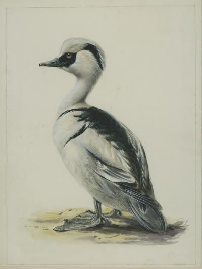 Smew, Illustration from 'A History of British Birds' by William Yarrell, c.1905-10-Edward Adrian Wilson-Giclee Print