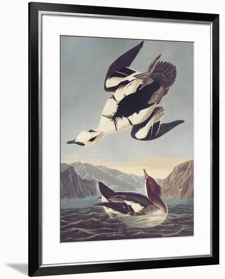 Smew Or White Nun-John James Audubon-Framed Premium Giclee Print