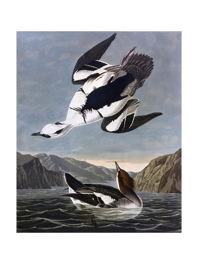 Smew, or White Nun-John James Audubon-Giclee Print
