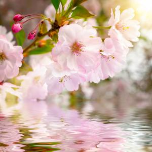 Cherry Blossoms with Reflection on Water by Smileus